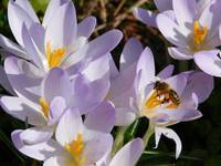 Honey Bee in the Crocuses