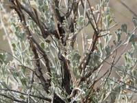 Sage Brush on the Canyon Rim
