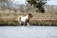 Assateague Horse