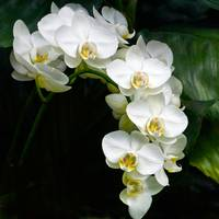 White Moth Orchid Array On Black
