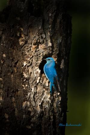 Bluebird at Nesthole
