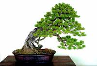 Meiji Shrine Black Pine Bonsai