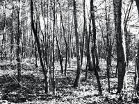 BLACK AND WHITE WOODS