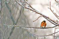 Robin on Icy Branches