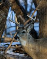 Whitetail bucks profile