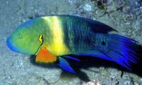Bromtail Wrasse