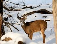 Whitetail bucks