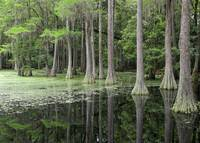 Cypresses in Tallahassee by Carol Groenen