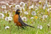 American Robin in the Dandelions