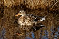Mallard Duck Reflecting