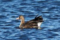 Greater White-Fronted Goose