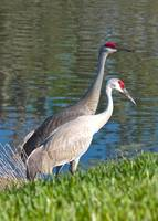 Beautiful Sandhill Crane Couple