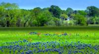 Decorative Texas Homestead Bluebonnets Meadow H325