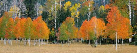 Meadow Edge Aspens