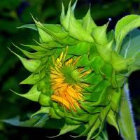 """""""Sunflower"""" by alex1230"""