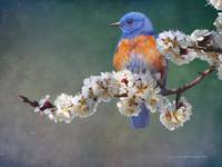 apple blossoms bluebird