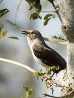 Northern Mockingbird Songbird Singing on Tree