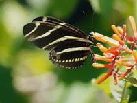 Zebra Longwing Butterfly on Firebush Orange Flower