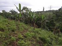 plantain vegetation