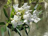 White Oleander by the Lakeside