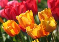 Sun-worshipping Tulips by Carol Groenen