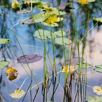 Everglades Lilly Pads Art Prints & Posters by Lorraine Boogich