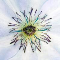 White Expressive Clematis Flower Macro Photo 4922A