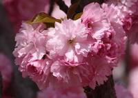 Pink Blossoms Closeup by Carol Groenen