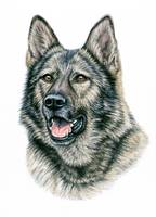 Grey German Shepherd Dog