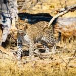 African Leopard on Alert