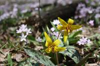 Spring Trout Lilies