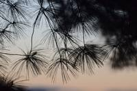 Sunset Pine Needles