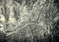 A Dogwood in the Springtime Woods - B&W