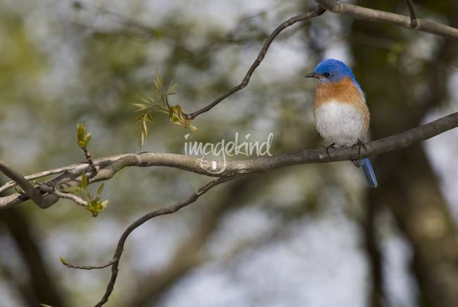 3H050 Eastern Bluebird by Jim Crotty