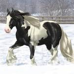 Black Pinto Gypsy Cob Draft Horse In Snow Prints & Posters