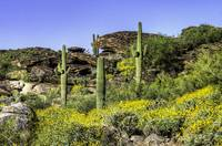 Four Saguaros & Wildflowers e