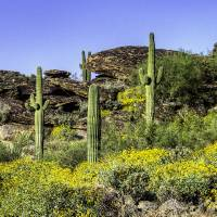 Four Saguaros & Wildflowers e Art Prints & Posters by JW Witherspoon