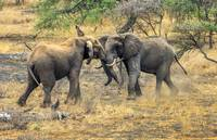 East African Elephants at Play
