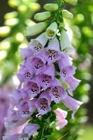 Foxglove Flowers by Carol Groenen