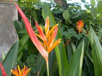 heliconia beauty in blossom