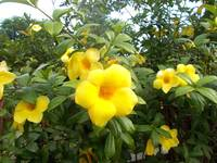 allamanda flowers or alamanda