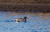 Green-winged Teal Drake