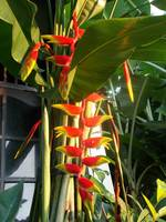 heliconia flowers at the frontyard