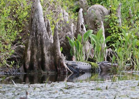 Gator in the Cypress Knees