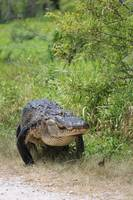 Gator Crossing by Carol Groenen