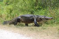 Large Gator on the Move by Carol Groenen