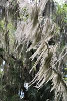 Florida Wind through Spanish Moss