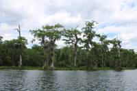Florida Waterscape with Cypresses