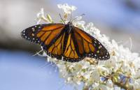 Monarch butterfly 3