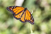 Monarch butterfly 4